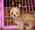 Beautiful Malti Tzu puppies for sale near Atlanta, Beautiful Malti Tzu puppies for sale in Ga, Beautiful Malti Tzu puppies for sale in Georgia