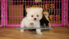 TeaCup Pomeranian puppies for sale near Atlanta, TeaCup Pomeranian puppies for sale in Ga, TeaCup Pomeranian puppies for sale in Georgia