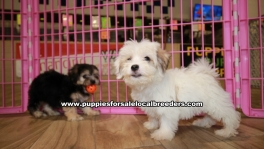 Yorkieton puppies for sale near Atlanta, Yorkieton puppies for sale in Ga, Yorkieton puppies for sale in Georgia