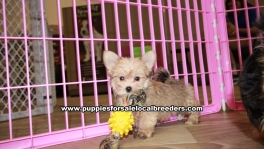 Adorable Teacup Morkie puppies for sale near Atlanta, Adorable Teacup Morkie puppies for sale in Ga, Adorable Teacup Morkie puppies for sale in Georgia