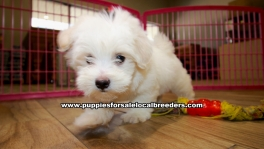 Beautiful Havanese puppies for sale near Atlanta, Beautiful Havanese puppies for sale in Ga, Beautiful Havanese puppies for sale in Georgia