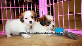 Pretty Yorkie Tzu puppies for sale near Atlanta, Pretty Yorkie Tzu puppies for sale in Ga, Pretty Yorkie Tzu puppies for sale in Georgia
