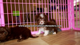 Adorable Chorkie puppies for sale near Atlanta, Adorable Chorkie puppies for sale in Ga, Adorable Chorkie puppies for sale in Georgia