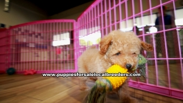 Apricot Toy Poodle puppies for sale near Atlanta, Apricot Toy Poodle puppies for sale in Ga, Apricot Toy Poodle puppies for sale in Georgia