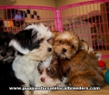 Party Color Morkie puppies for sale near Atlanta, Party Color Morkie puppies for sale in Ga, Party Color Morkie puppies for sale in Georgia
