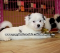 Black and White Teddy Bear puppies for sale near Atlanta, Black and White Teddy Bear puppies for sale in Ga, Black and White Teddy Bear puppies for sale in Georgia