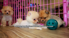 Red and Cream Pomeranian puppies for sale near Atlanta, Red and Cream Pomeranian puppies for sale in Ga, Red and Cream Pomeranian puppies for sale in Georgia