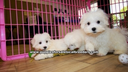 Teacup Maltese Puppies For Sale Georgia, Local Breeders, Gwinnett County, Georgia, Atlanta, Ga