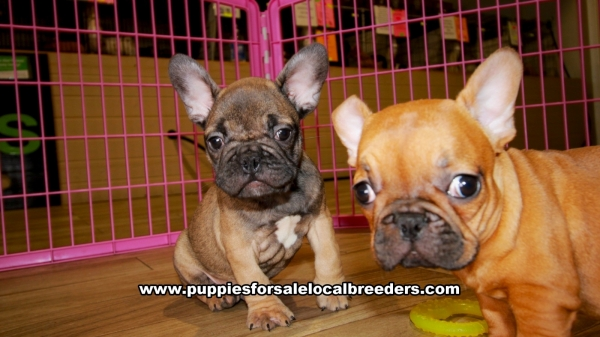 Tan and Red French Bulldog puppies for sale near Atlanta, Tan and Red French Bulldog puppies for sale in Ga, Tan and Red French Bulldog puppies for sale in Georgia