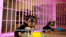 Teacup Toy Yorkie Puppies For Sale near Savannah, Ga