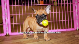 Fawn French Bulldog puppies for sale near Atlanta, Fawn French Bulldog puppies for sale in Ga, Fawn French Bulldog puppies for sale in Georgia