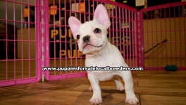 White French Bulldog puppies for sale near Atlanta, White French Bulldog puppies for sale in Ga, White French Bulldog puppies for sale in Georgia