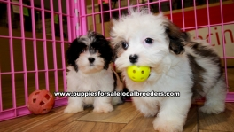 Malti Tzu puppies for sale near Atlanta, Malti Tzu puppies for sale in Ga, Malti Tzu puppies for sale in Georgia