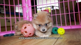 Blue Fawn Pomeranian puppies for sale near Atlanta, Blue Fawn Pomeranian puppies for sale in Ga, Blue Fawn Pomeranian puppies for sale in Georgia