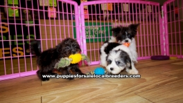Morkie puppies for sale near Atlanta, Morkie puppies for sale in Ga, Morkie puppies for sale in Georgia