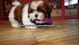 Shih tzu puppies for sale near Atlanta, Shih tzu puppies for sale in Ga, Shih tzu puppies for sale in Georgia