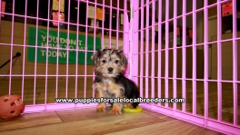Teacup Toy Yorkie Puppies For Sale near Gwinnett County, Ga