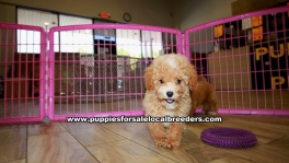 Toy Poodle puppies for sale near Atlanta, Toy Poodle puppies for sale in Ga, Toy Poodle puppies for sale in Georgia