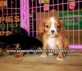 Cavalier King Charles Spaniel puppies for sale near Atlanta, Cavalier King Charles Spaniel puppies for sale in Ga, Cavalier King Charles Spaniel puppies for sale in Georgia