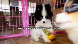 Pomeranian puppies for sale near Atlanta, Pomeranian puppies for sale in Ga, Pomeranian puppies for sale in Georgia