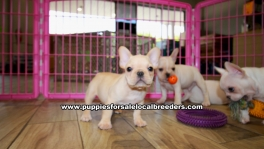 French Bulldog puppies for sale near Atlanta, French Bulldog puppies for sale in Ga, French Bulldog puppies for sale in Georgia