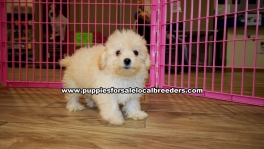 Toy Poodle puppies for sale near Atlanta, Toy Poodle puppies for sale in Ga, Toy Poodle puppies for sale in Georgiam