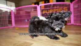 Maltipoo puppies for sale near Atlanta, Maltipoo puppies for sale in Ga, Maltipoo puppies for sale in Georgia