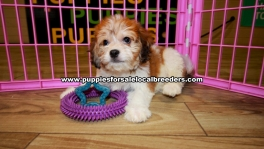 Cavachon puppies for sale near Atlanta, Cavachon puppies for sale in Ga, Cavachon puppies for sale in Georgia