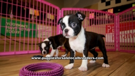 Boston Terrier Puppies For Sale Georgia