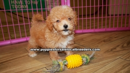 Bichon Poo Puppies For Sale Georgia