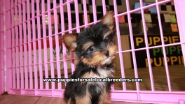 Teacup Toy Yorkie Puppies For Sale near Columbus, Ga