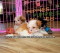 Shih Tzu Puppies For Sale Georgia