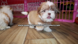 Shih Tzu Puppies For Sale Georgia