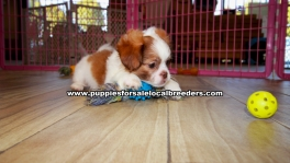 Peka Tzu Puppies For Sale Georgia