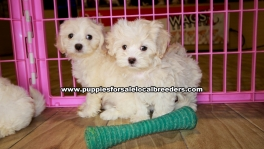 White Maltipoo Puppies For Sale Georgia
