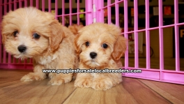 Apricot Maltipoo Puppies For Sale Georgia