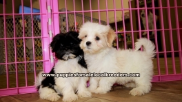Malti Tzu Puppies For Sale Georgia
