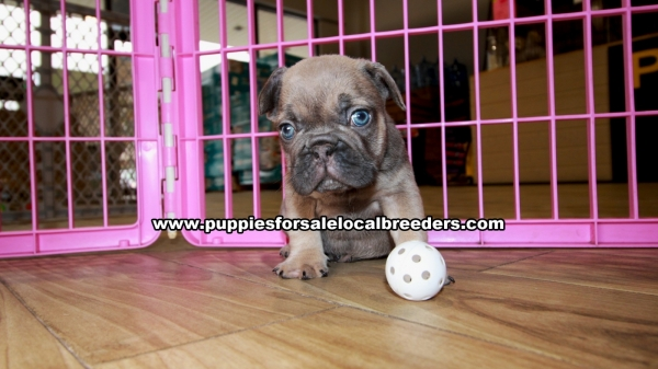 Lilac French Bulldog Puppies For Sale Georgia