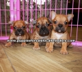 Red Fawn French Bulldog Puppies For Sale Georgia