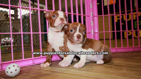 Red Boston Terrier Puppies For Sale Georgia