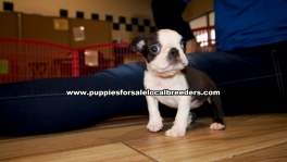 Boston Terrier Puppies for sale Ga