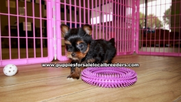 Teacup Toy Yorkie Puppies For Sale near Atlanta, Ga