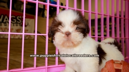 Shih Tzu Puppies for sale Ga