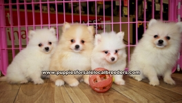 Pomeranian Puppies for sale Atlanta