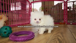 Teacup Pomeranian Puppies For Sale Georgia