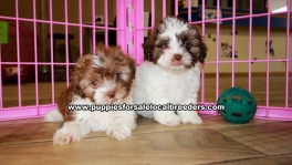 Chocolate and White Shih Poo Puppies For Sale Georgia