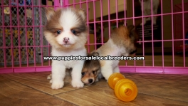 Small Pomeranian Puppies For Sale Georgia