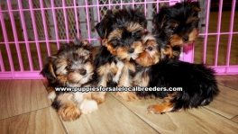 Small Yorkie Puppies For Sale Georgia