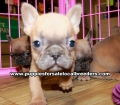 Blue Fawn French Bulldog Puppies For Sale Georgia