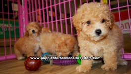 Apricot Bichon Poo Puppies For Sale Georgia